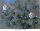 Common Redpoll.jpg