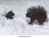 Black Squirrel r1.jpg