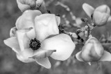 Japanese Magnolia 1.jpg
