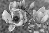 Japanese Magnolia 6.jpg
