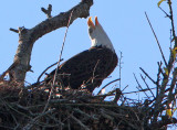 The Cry of the American Bald Eagle