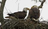Great American Bald Eagles Communicating