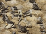 Gannets 1