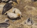 Gannets 7