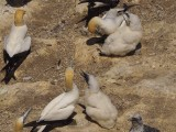 Gannets 11