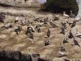 Gannets 12