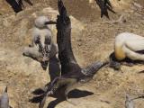 Gannets 13