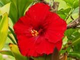 Red Hibiscus 2