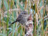 Swamp Sparrow (Juvenile)
