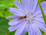 Hover Fly (Sphaerophoria sp.)
