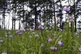 Arundina ceaspitosa, 1300 mtr. pine forest