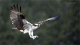Female Osprey Landing