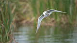 Forsters tern with Lunch