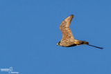 Falco pellegrino- Peregrine (Falco peregrinus)
