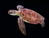 Turtle on Black