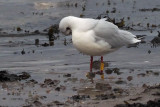 Black-headed Gull, Cardwell Bay-Gourock, Clyde