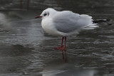 Black-headed Gull, Richmond Park, Glasgow