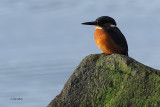 Kingfisher, Milarrochy Bay, Clyde