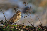 Song Thrush, Ryat Linn Reservoir, Clyde