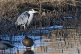 Grey Heron, Littleton Reservoir, Clyde