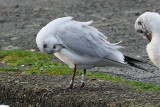Black-headed Gull, Richmond Park-Shawfield, Glasgow