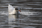 Mediterranean Gull, Richmond Park-Shawfield, Glasgow