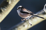 Long-tailed Tit, Dalmarnock-Glasgow, Clyde