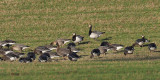 Barnacle & Pink-footed Geese, Croftamie, Clyde