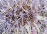 Seeded dandelion head