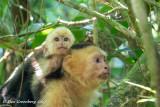 White-throated Capuchins