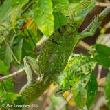 Emerald Basilisk