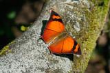 Memphis Eurypyle Confusa Butterfly