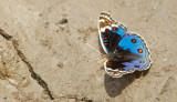 Junonia orithya madagascariensis / Blue Pansy / Blue Pansy
