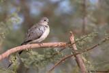 Namaque Dove