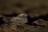 Nubian Nightjar