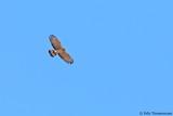 Crested Honey Buzzard