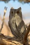 Pallid Scops Owl