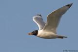 Pallas' Gull