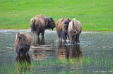 Wading Bison