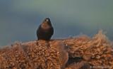 Brown-headed Cowbird on Bison