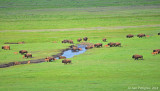 Bison Herd Crossing