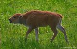 A Worried Calf