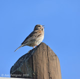 Veper Sparrow