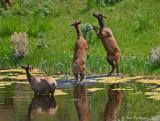 Fighting Elk Cows
