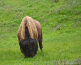 Bull Bison Showing Off his Bangs