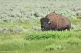 Massive Bull Bison