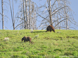Grizzly Sow and Boar