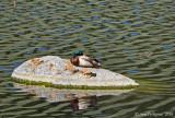 Sleeping Mallard
