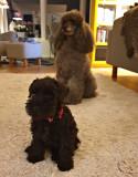 Det är ingen leksakshund utan det är Spira, en svart dvärgschnauservalp, 9 veckor gammal