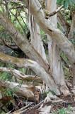 Water Gum (Tristaniopsis exiliflora)